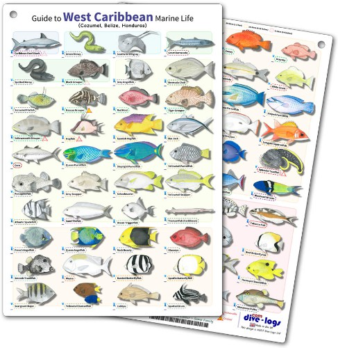 Cozumel, Belize and Honduras Fish ID Card - waterproof, flexible, and tough - great for scuba diving fish encounters or snorkelling between dives